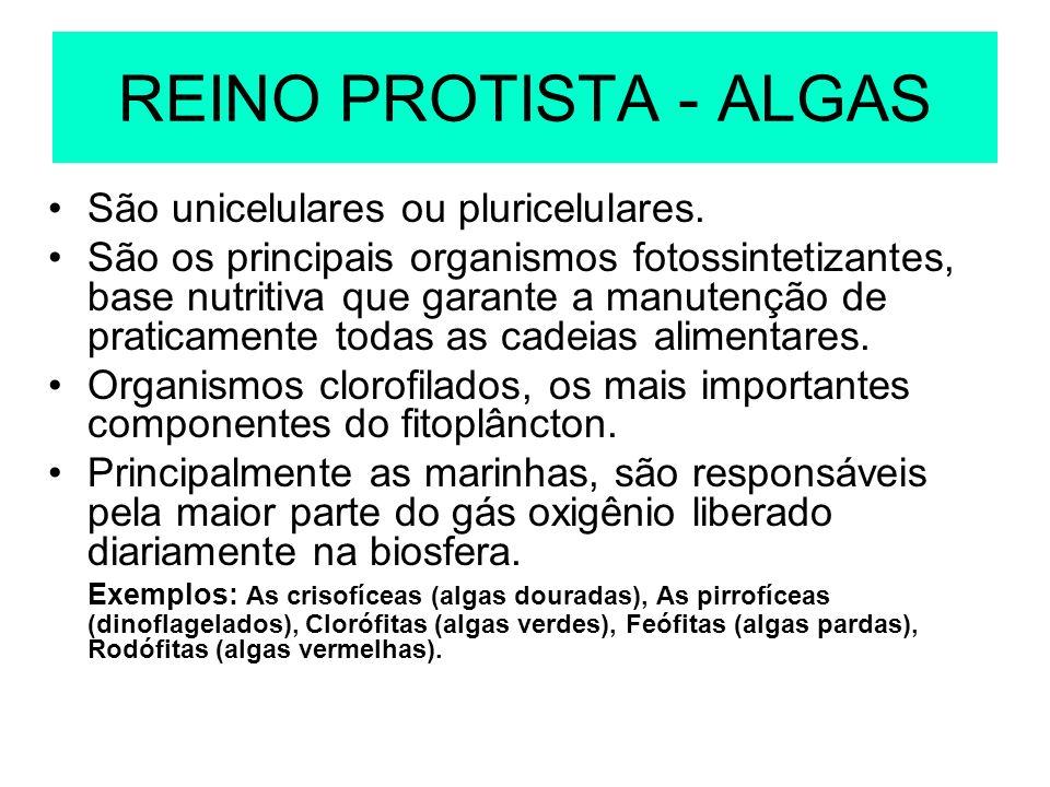 REINO PROTISTA - ALGAS São unicelulares ou pluricelulares. São os principais organismos fotossintetizantes, base nutritiva que garante a manutenção de