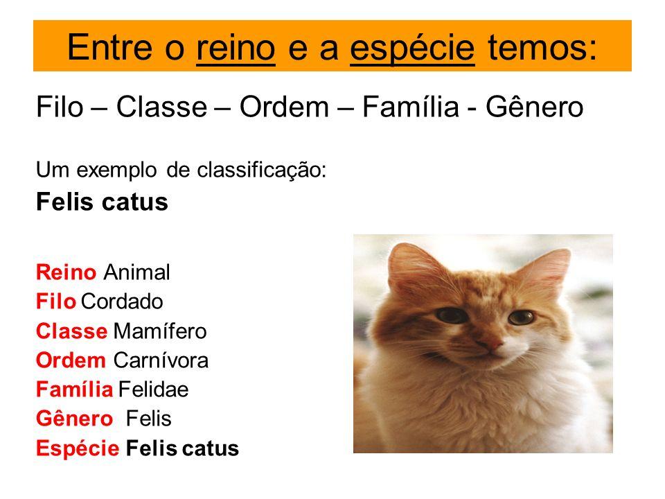 Entre o reino e a espécie temos: Filo – Classe – Ordem – Família - Gênero Um exemplo de classificação: Felis catus Reino Animal Filo Cordado Classe Ma