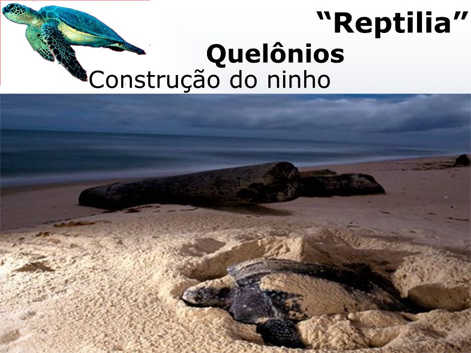 Postura e nascimento Macho (<temperatura) Fêmea (>temperatura) Construção do ninho Reptilia Quelônios