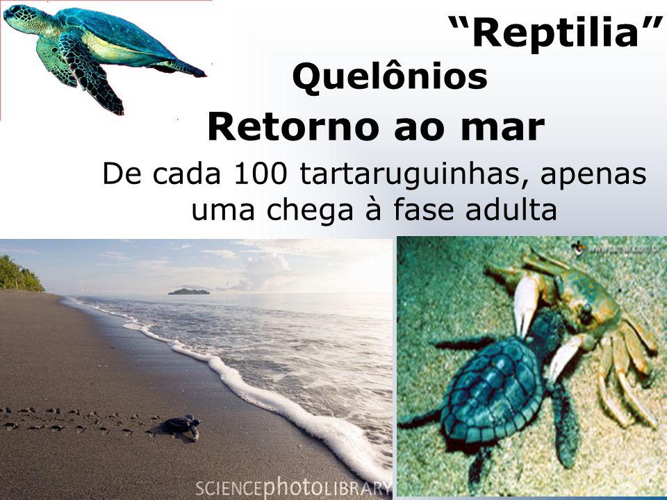 Retorno ao mar Reptilia De cada 100 tartaruguinhas, apenas uma chega à fase adulta Quelônios