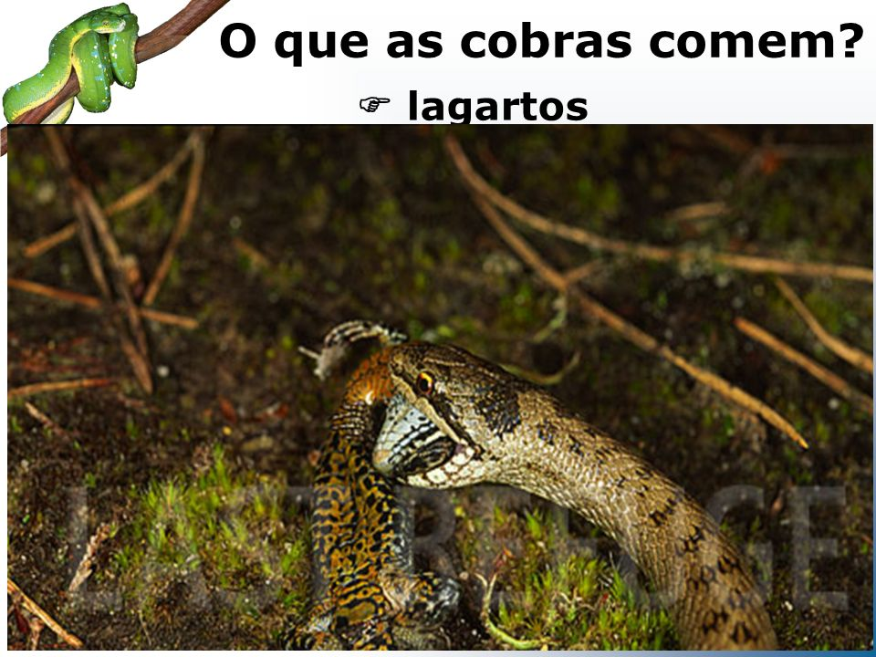 lagartos O que as cobras comem?