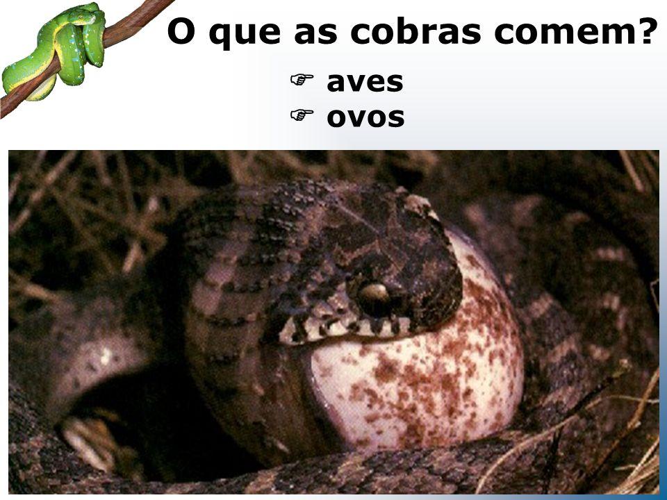 roedores O que as cobras comem?