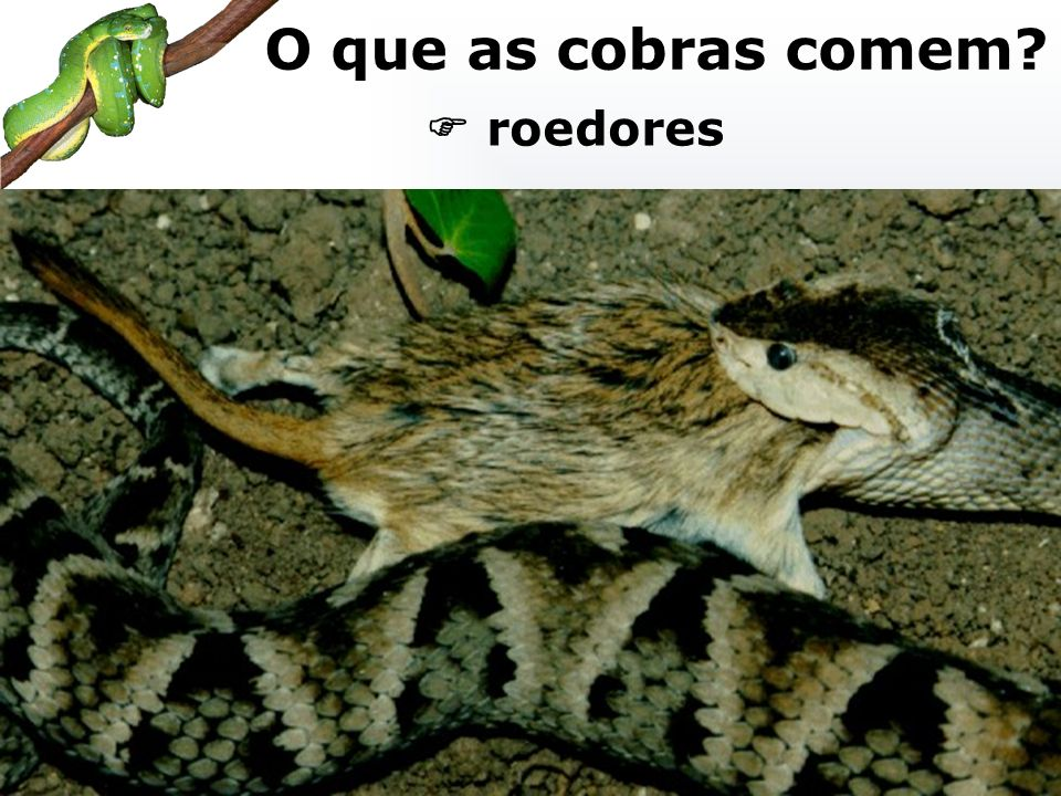 roedores O que as cobras comem?
