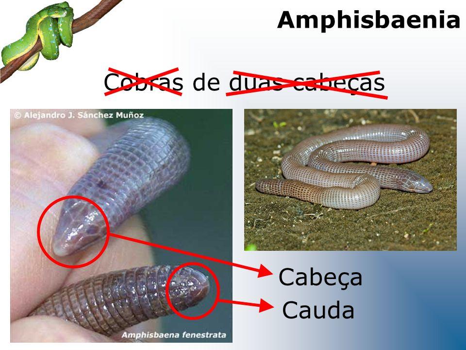 Cobras de duas cabeças Cabeça Cauda Amphisbaenia