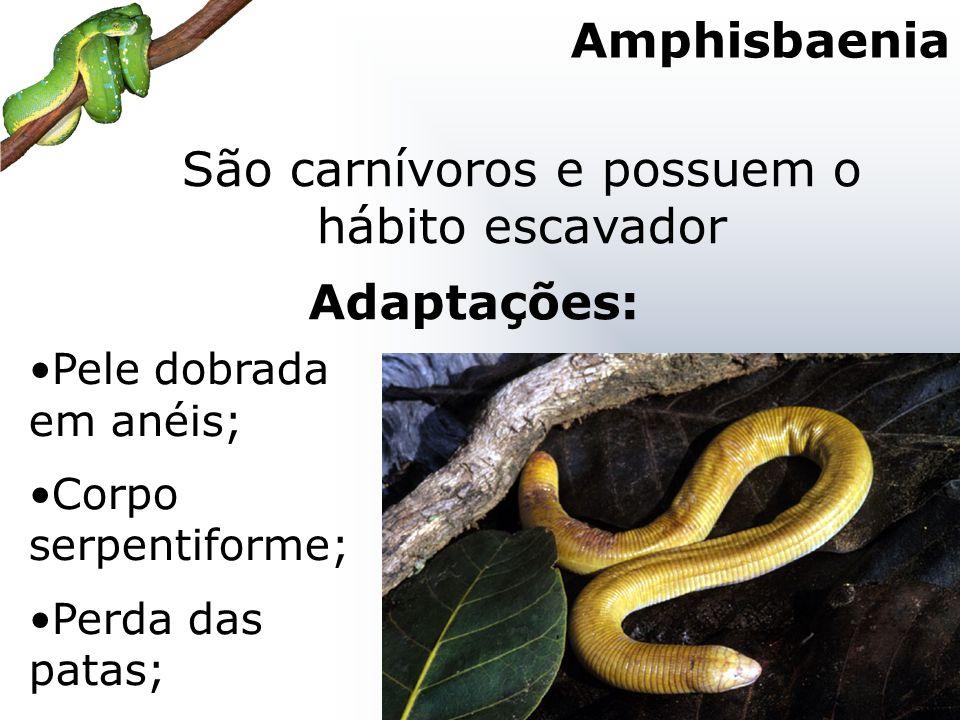 São carnívoros e possuem o hábito escavador Pele dobrada em anéis; Corpo serpentiforme; Perda das patas; Adaptações: Amphisbaenia