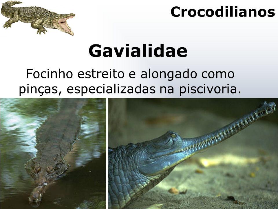Gavialidae Focinho estreito e alongado como pinças, especializadas na piscivoria. Crocodilianos