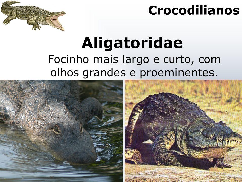 Aligatoridae Focinho mais largo e curto, com olhos grandes e proeminentes. Crocodilianos
