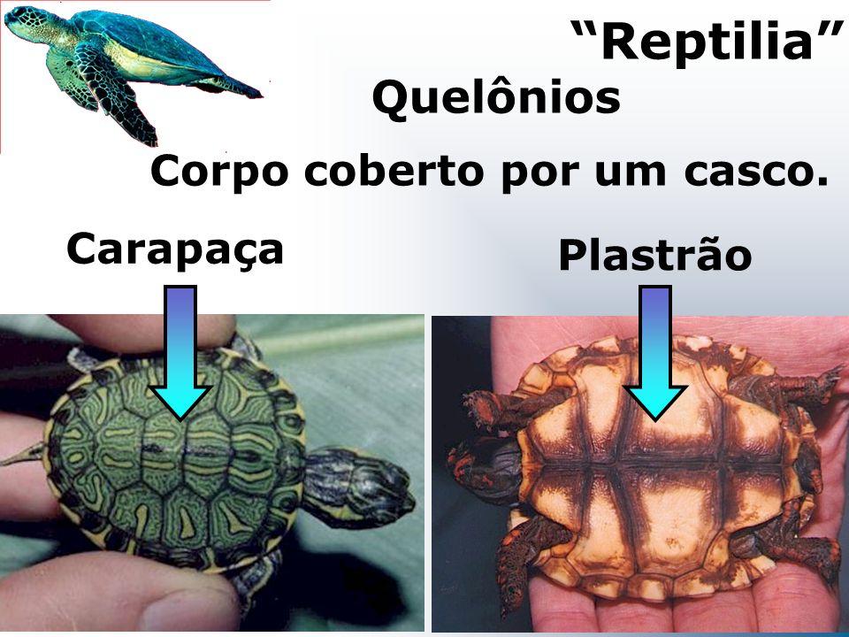 Corpo coberto por um casco. Reptilia Quelônios Plastrão Carapaça
