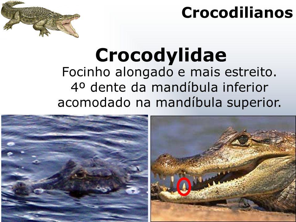 Crocodylidae Focinho alongado e mais estreito. 4º dente da mandíbula inferior acomodado na mandíbula superior. Crocodilianos
