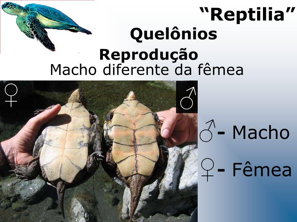 Reprodução Macho diferente da fêmea - Fêmea Reptilia - Macho Quelônios