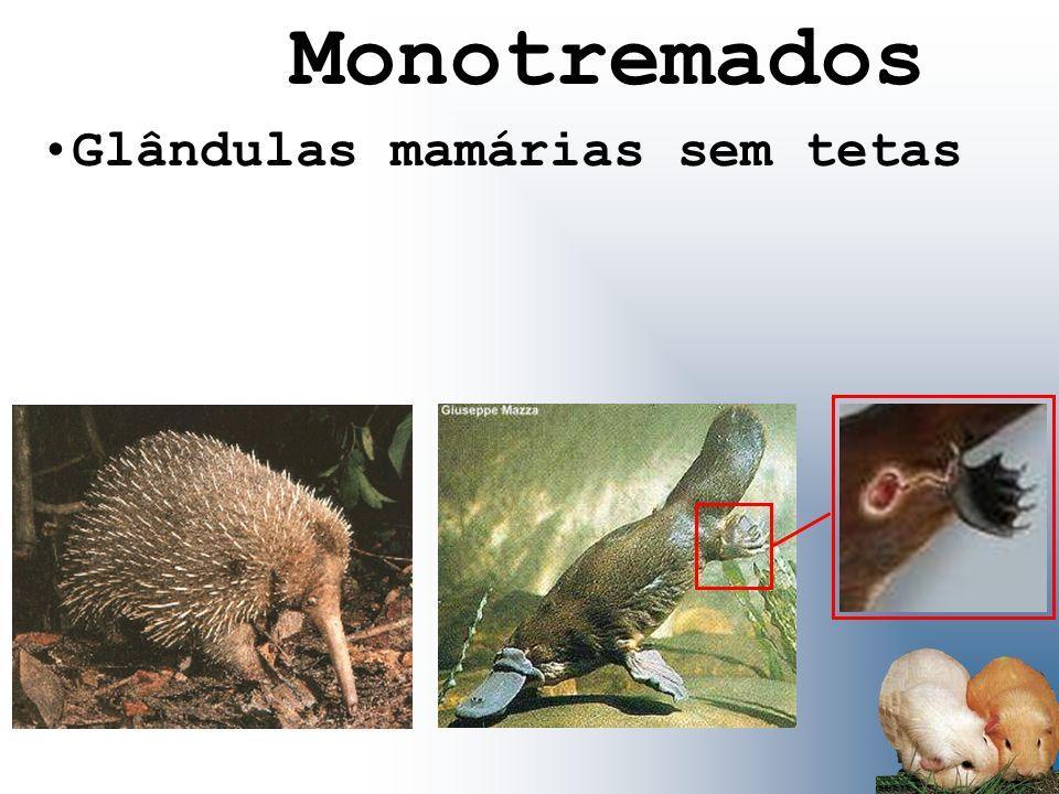 Glândulas mamárias sem tetas Monotremados