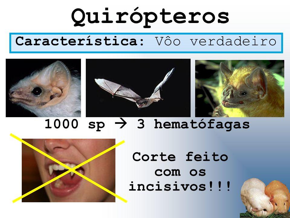 Quirópteros Característica: Vôo verdadeiro 1000 sp 3 hematófagas Corte feito com os incisivos!!!