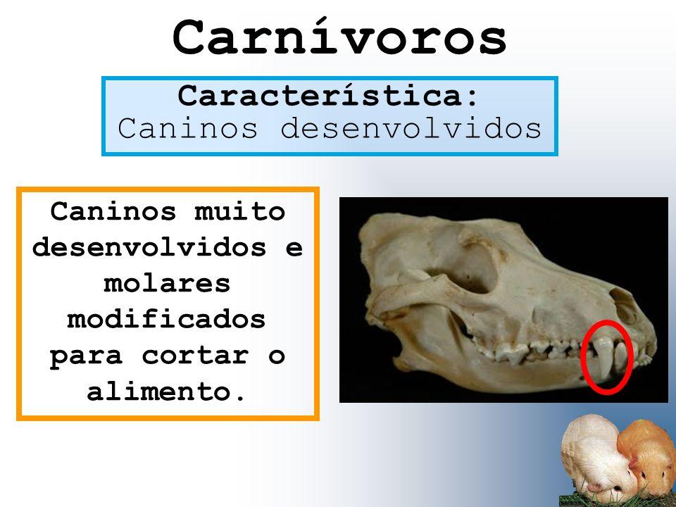 Carnívoros Característica: Caninos desenvolvidos Caninos muito desenvolvidos e molares modificados para cortar o alimento.