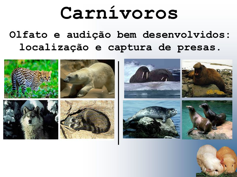 Olfato e audição bem desenvolvidos: localização e captura de presas. Carnívoros