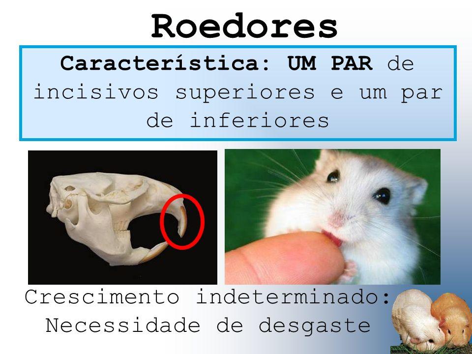 Característica: UM PAR de incisivos superiores e um par de inferiores Crescimento indeterminado: Necessidade de desgaste Roedores