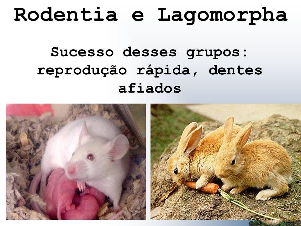 Sucesso desses grupos: reprodução rápida, dentes afiados Rodentia e Lagomorpha