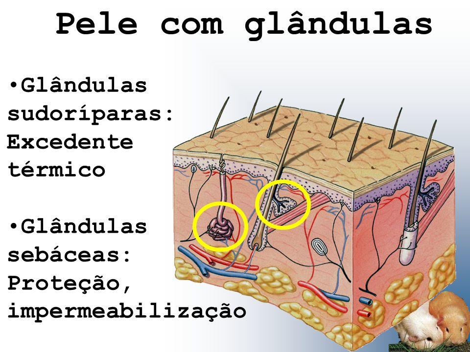 Pele com glândulas Glândulas sudoríparas: Excedente térmico Glândulas sebáceas: Proteção, impermeabilização