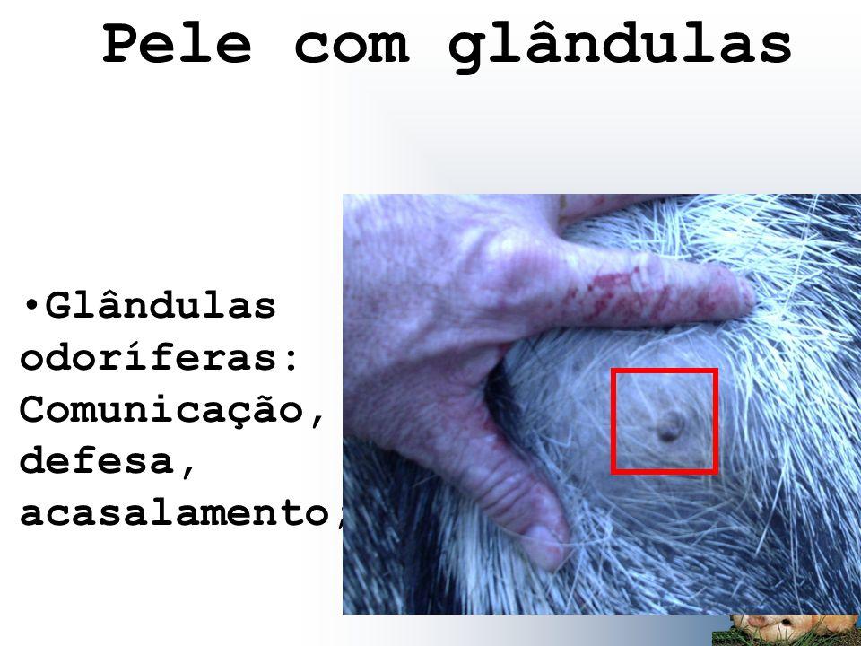 Glândulas odoríferas: Comunicação, defesa, acasalamento; Pele com glândulas