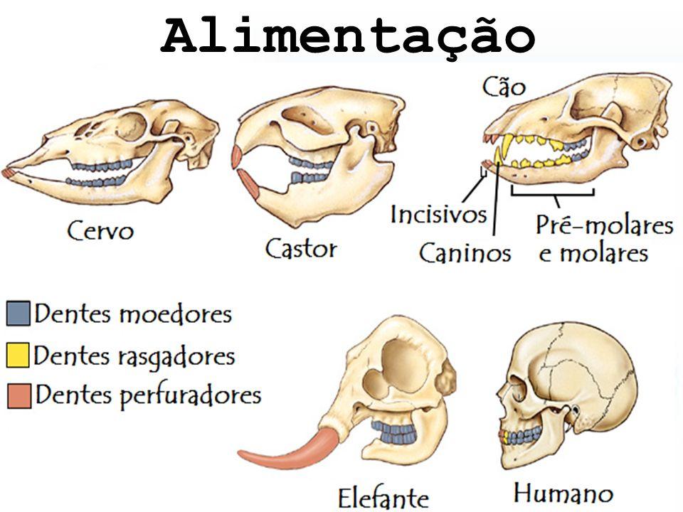 Adaptações para a alimentação Insetivoria; Herbivoria (não ruminantes); Herbivoria/ Ruminantes.