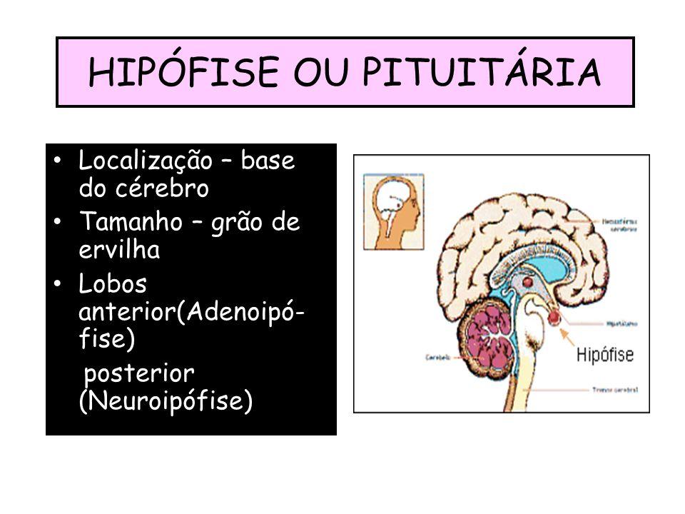 HIPÓFISE OU PITUITÁRIA Localização – base do cérebro Tamanho – grão de ervilha Lobos anterior(Adenoipó- fise) posterior (Neuroipófise)