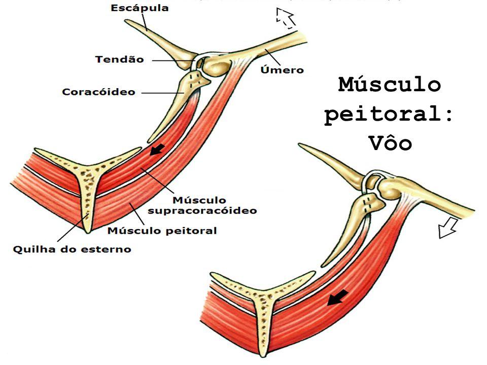 Músculo peitoral: Vôo Reptilia – Aves