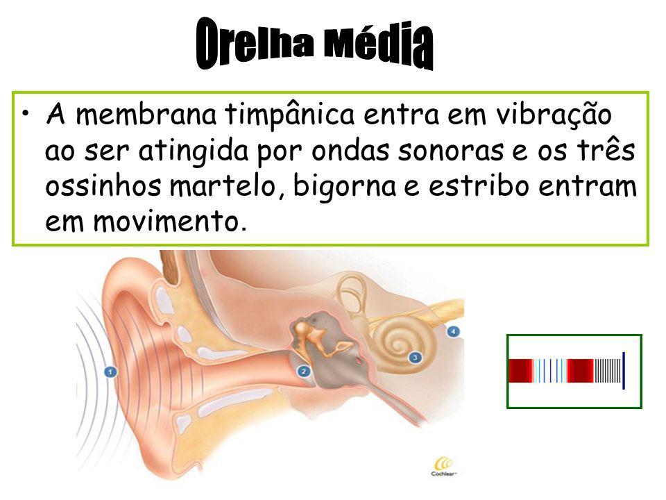 Conhecido como orelha Seu formato ajuda a captar as ondas sonoras.