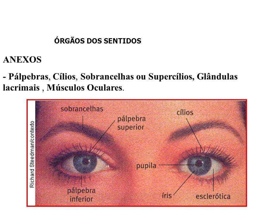ÓRGÃOS DOS SENTIDOS pupila íris músculo liso humor vítreo retina fóvea nervo óptico cristalino humor aquoso córnea