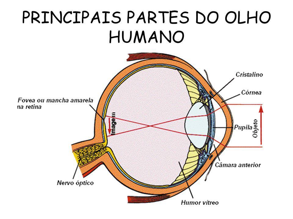 ANEXOS - Pálpebras, Cílios, Sobrancelhas ou Supercílios, Glândulas lacrimais, Músculos Oculares. ÓRGÃOS DOS SENTIDOS
