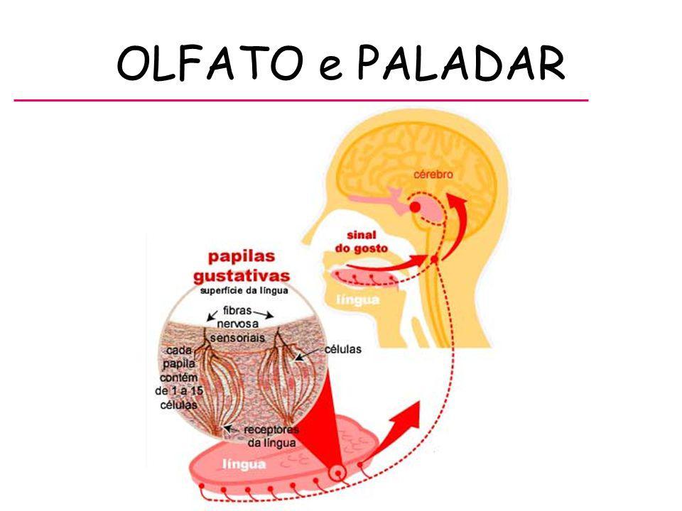 ANEXOS - Pálpebras, Cílios, Sobrancelhas ou Supercílios, Glândulas lacrimais, Músculos Oculares.