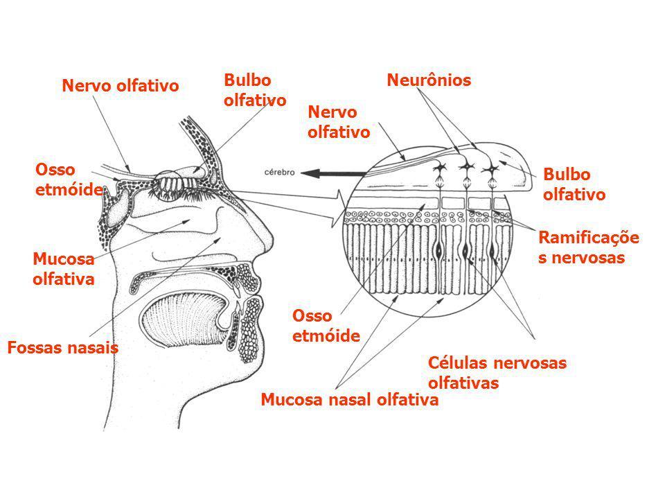 Nervo olfativo Bulbo olfativo Nervo olfativo Neurônios Bulbo olfativo Ramificaçõe s nervosas Mucosa nasal olfativa Fossas nasais Mucosa olfativa Osso etmóide Células nervosas olfativas