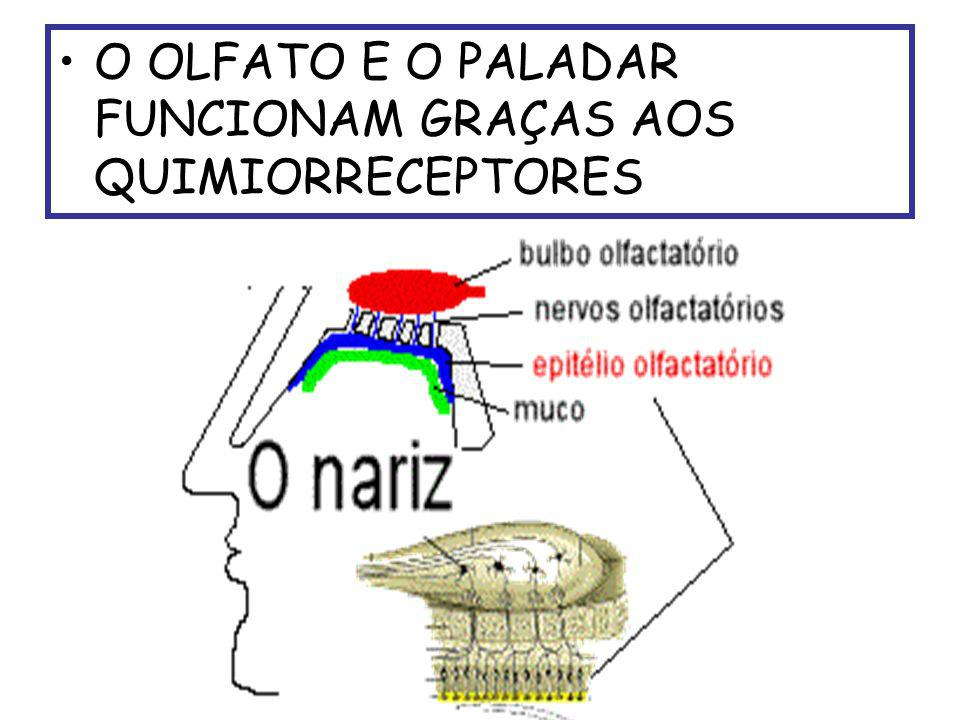 O OLFATO E O PALADAR FUNCIONAM GRAÇAS AOS QUIMIORRECEPTORES