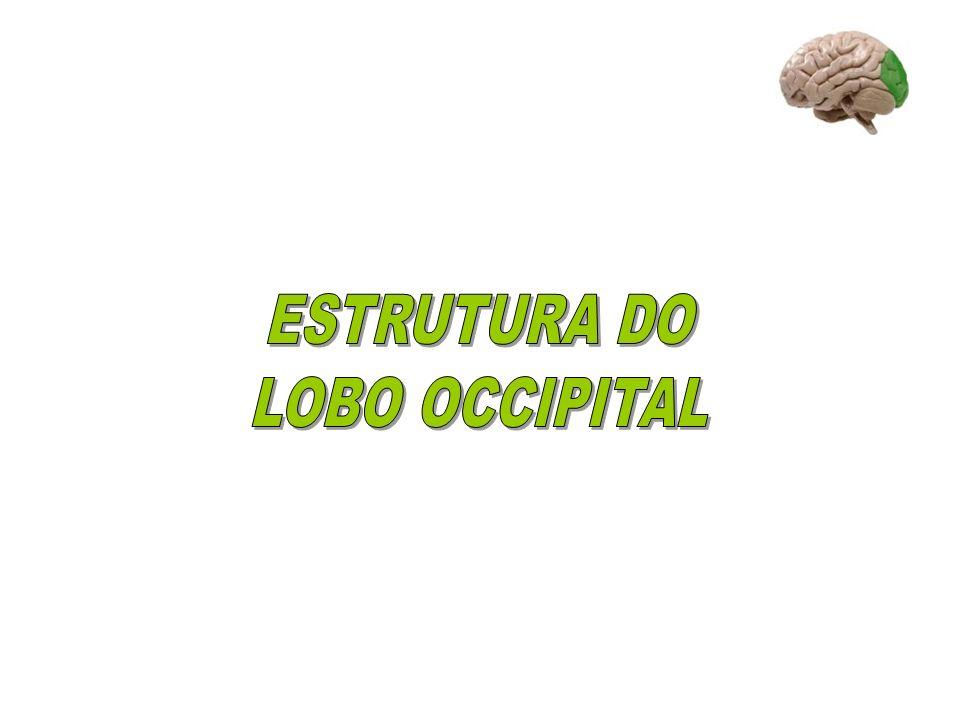 RETINA corpo geniculado lateral fissura calcarina córtex visual primário córtex visual secundário (ou de associação)