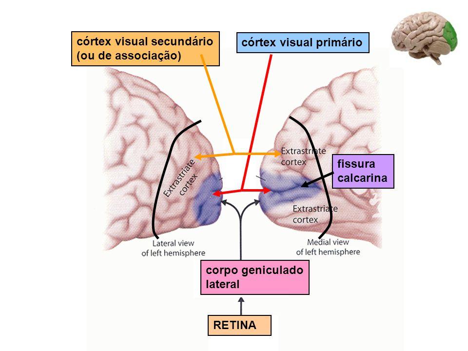 Corpo geniculado lateral radiação optica córtex visual primário