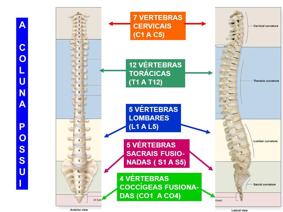 7 VERTEBRAS CERVICAIS (C1 A C5) ACOLUNAPOSSUIACOLUNAPOSSUI 12 VÉRTEBRAS TORÁCICAS (T1 A T12) 5 VÉRTEBRAS LOMBARES (L1 A L5) 5 VÉRTEBRAS SACRAIS FUSIO-