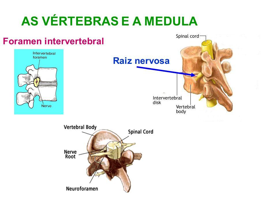 AS VÉRTEBRAS E A MEDULA Foramen intervertebral Raiz nervosa