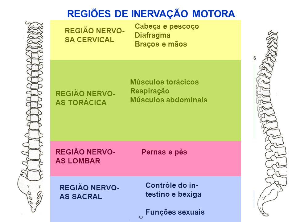 REGIÃO NERVO- SA CERVICAL Cabeça e pescoço Diafragma Braços e mãos REGIÃO NERVO- AS TORÁCICA Músculos torácicos Respiração Músculos abdominais REGIÃO