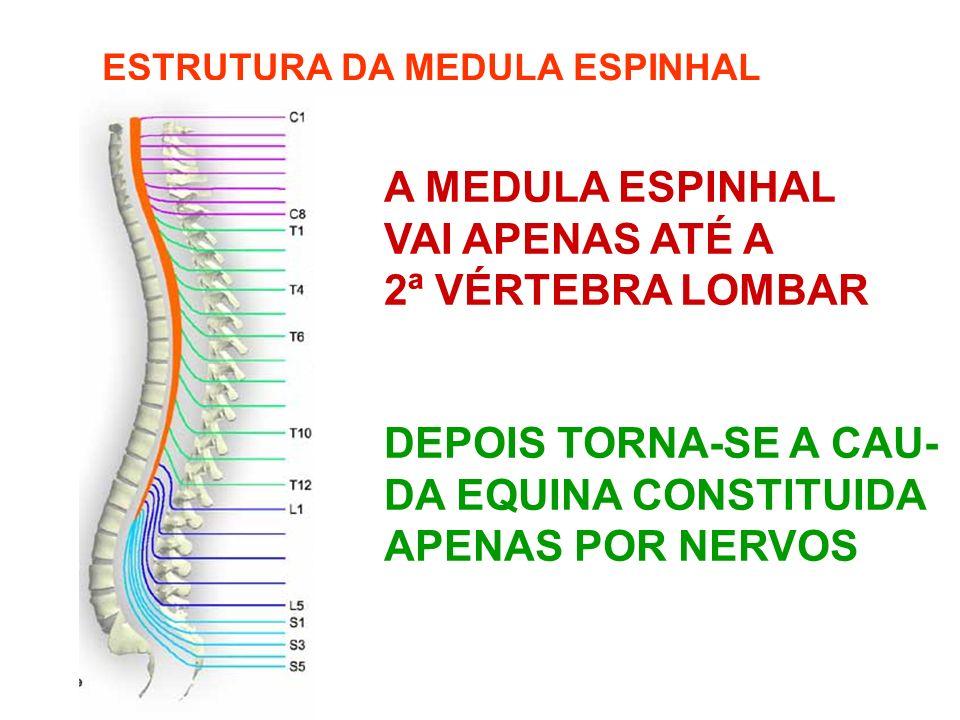 ESTRUTURA DA MEDULA ESPINHAL A MEDULA ESPINHAL VAI APENAS ATÉ A 2ª VÉRTEBRA LOMBAR DEPOIS TORNA-SE A CAU- DA EQUINA CONSTITUIDA APENAS POR NERVOS