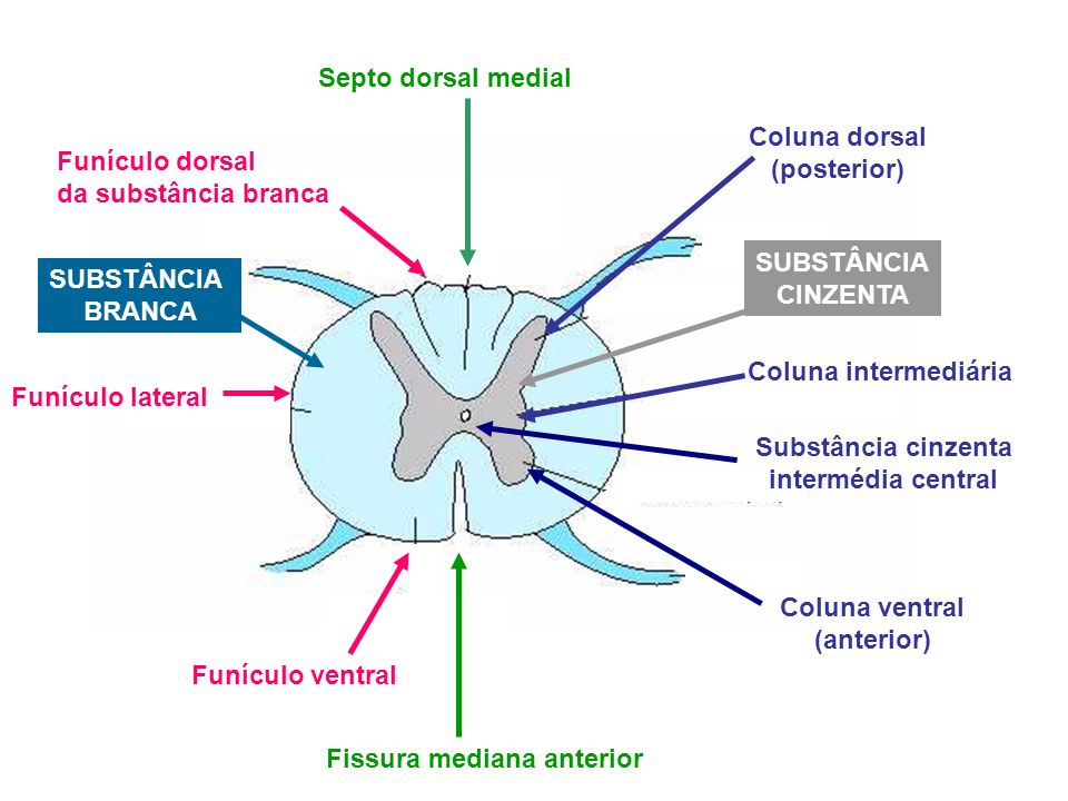 Septo dorsal medial Funículo dorsal da substância branca Funículo lateral Funículo ventral Coluna dorsal (posterior) Coluna intermediária Coluna ventr