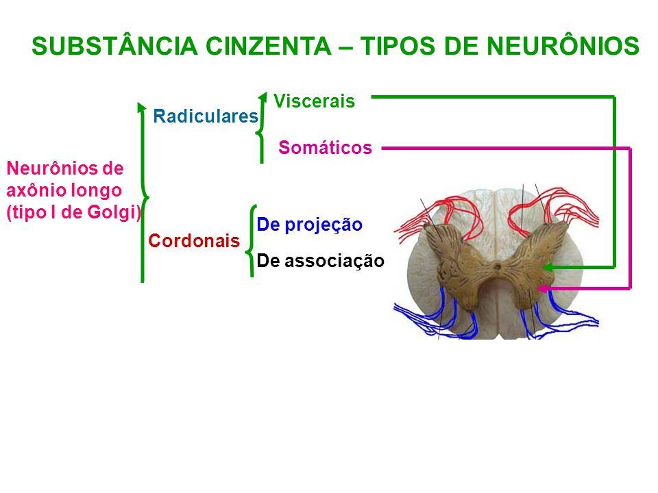 SUBSTÂNCIA CINZENTA – TIPOS DE NEURÔNIOS Neurônios de axônio longo (tipo I de Golgi) Radiculares Cordonais Viscerais Somáticos De associação De projeç