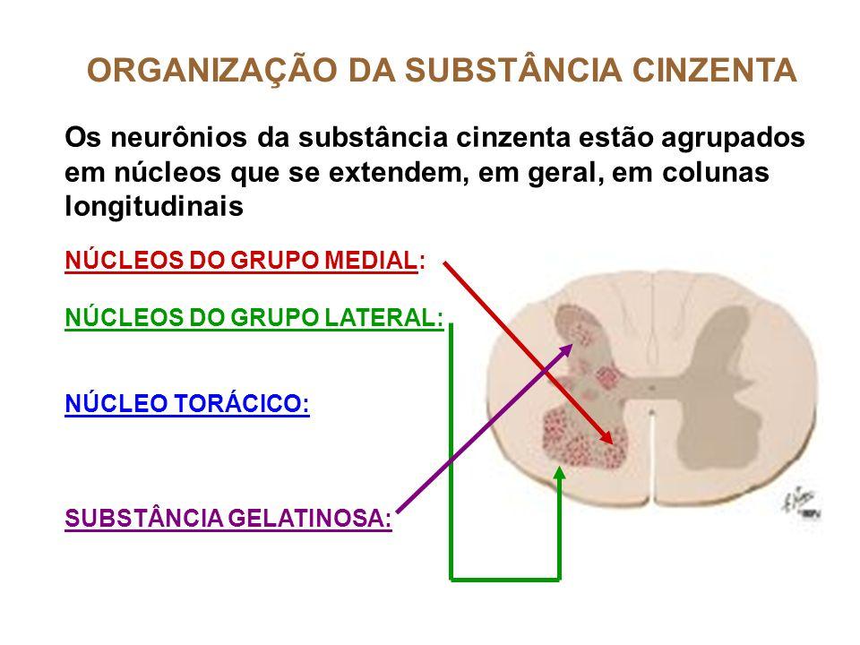 ORGANIZAÇÃO DA SUBSTÂNCIA CINZENTA Os neurônios da substância cinzenta estão agrupados em núcleos que se extendem, em geral, em colunas longitudinais