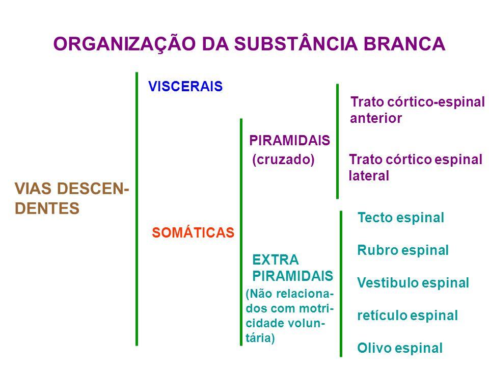 ORGANIZAÇÃO DA SUBSTÂNCIA BRANCA VIAS DESCEN- DENTES VISCERAIS SOMÁTICAS PIRAMIDAIS Trato córtico-espinal anterior Trato córtico espinal lateral (cruz