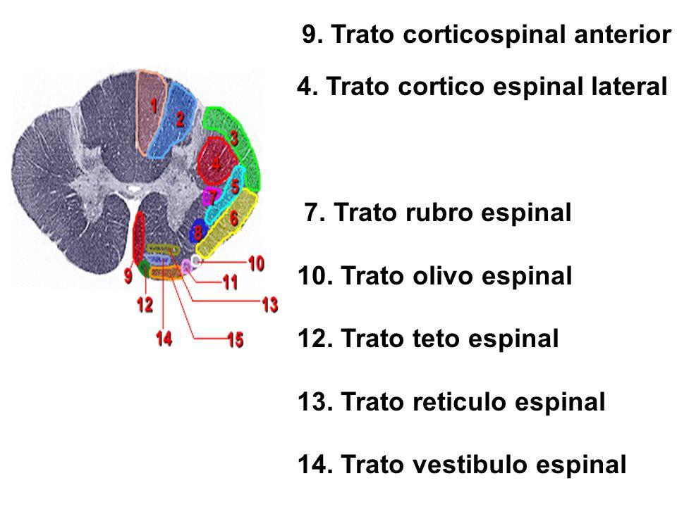 9. Trato corticospinal anterior 4. Trato cortico espinal lateral 7. Trato rubro espinal 10. Trato olivo espinal 12. Trato teto espinal 13. Trato retic