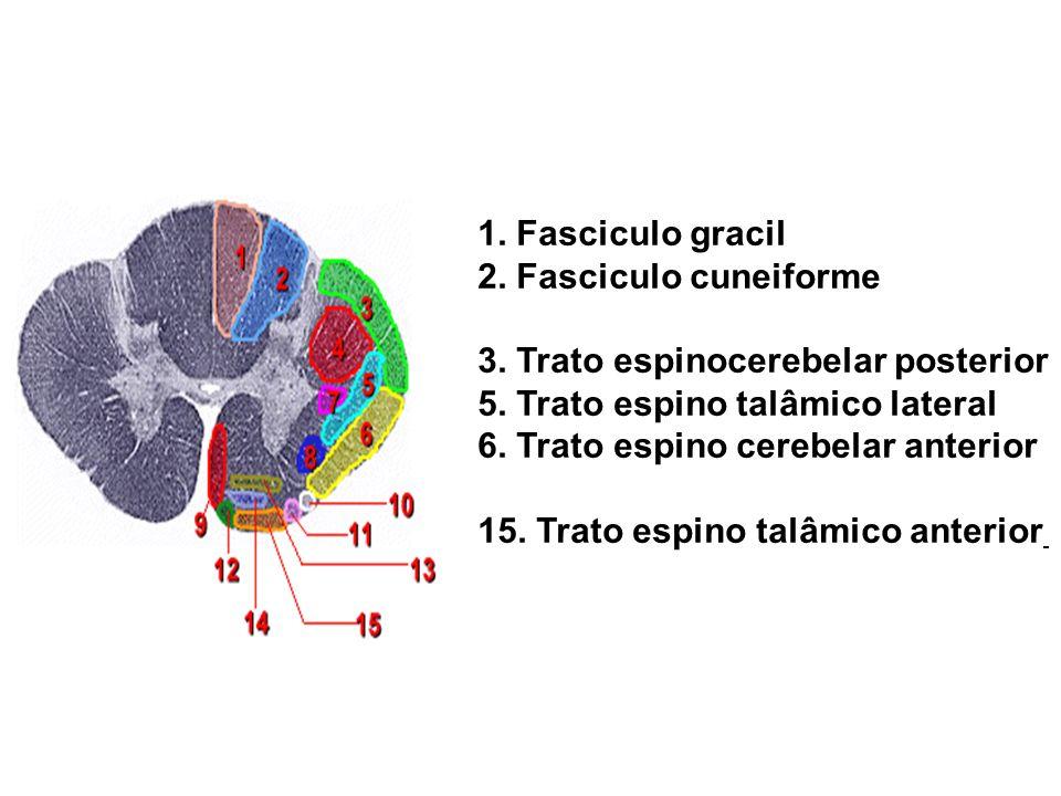 1. Fasciculo gracil 2. Fasciculo cuneiforme 3. Trato espinocerebelar posterior 5. Trato espino talâmico lateral 6. Trato espino cerebelar anterior 15.