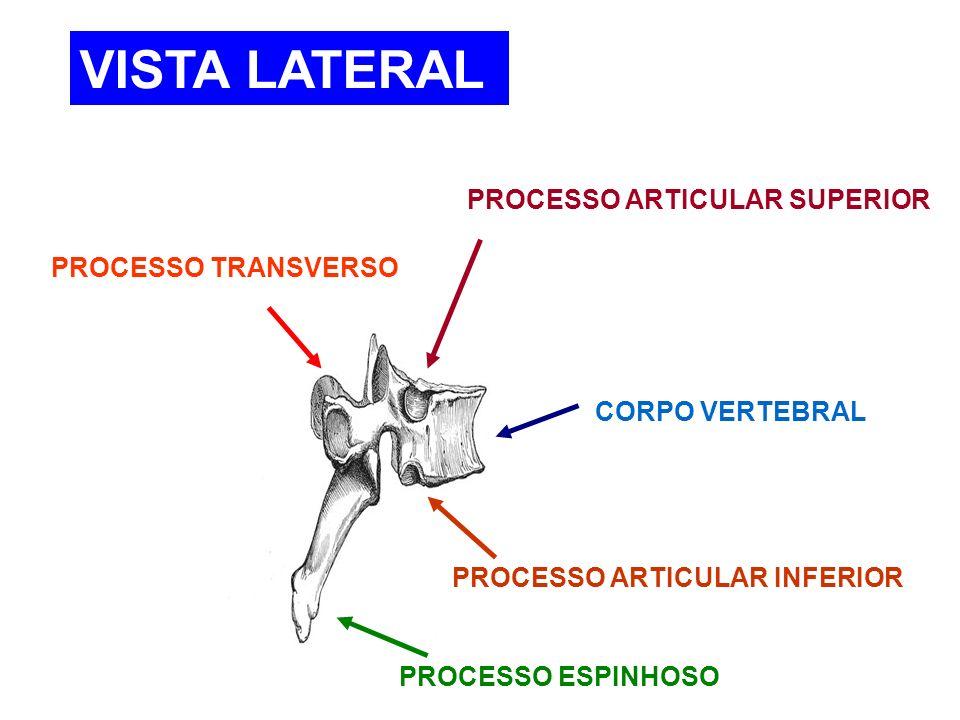 CORPO VERTEBRAL PROCESSO ESPINHOSO PROCESSO TRANSVERSO PROCESSO ARTICULAR SUPERIOR PROCESSO ARTICULAR INFERIOR VISTA LATERAL