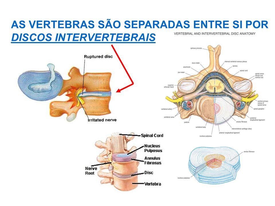 AS VERTEBRAS SÃO SEPARADAS ENTRE SI POR DISCOS INTERVERTEBRAIS