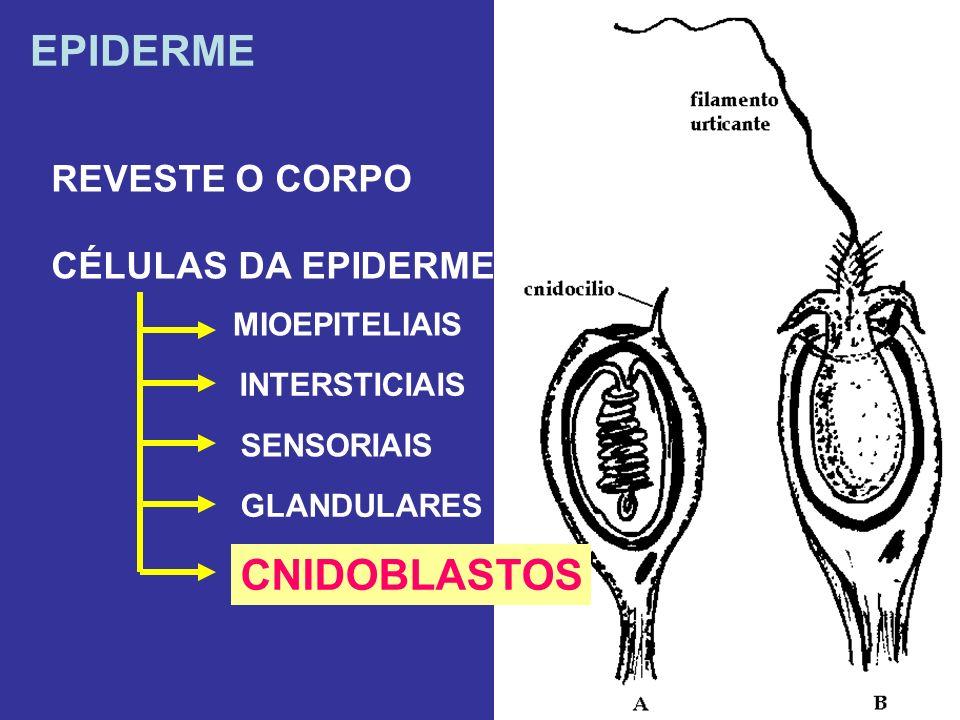 EPIDERME REVESTE O CORPO CÉLULAS DA EPIDERME MIOEPITELIAIS INTERSTICIAIS SENSORIAIS GLANDULARES CNIDOBLASTOS