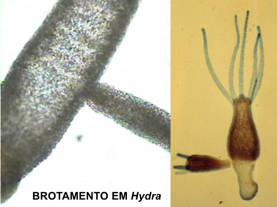 BROTAMENTO EM Hydra