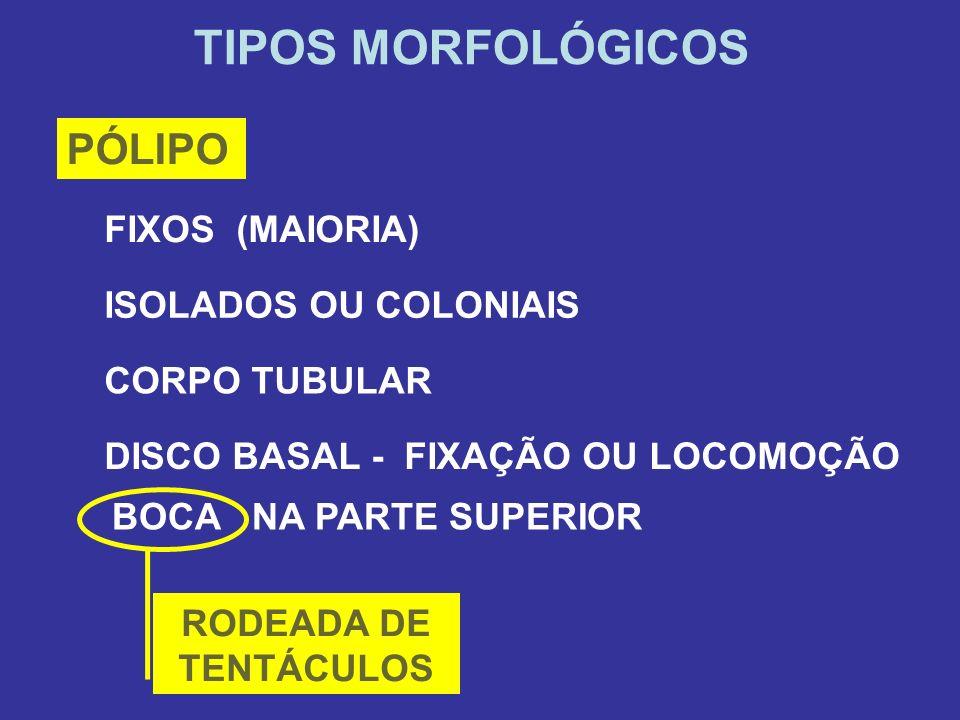 TIPOS MORFOLÓGICOS PÓLIPO FIXOS (MAIORIA) ISOLADOS OU COLONIAIS CORPO TUBULAR DISCO BASAL - FIXAÇÃO OU LOCOMOÇÃO BOCA NA PARTE SUPERIOR RODEADA DE TEN