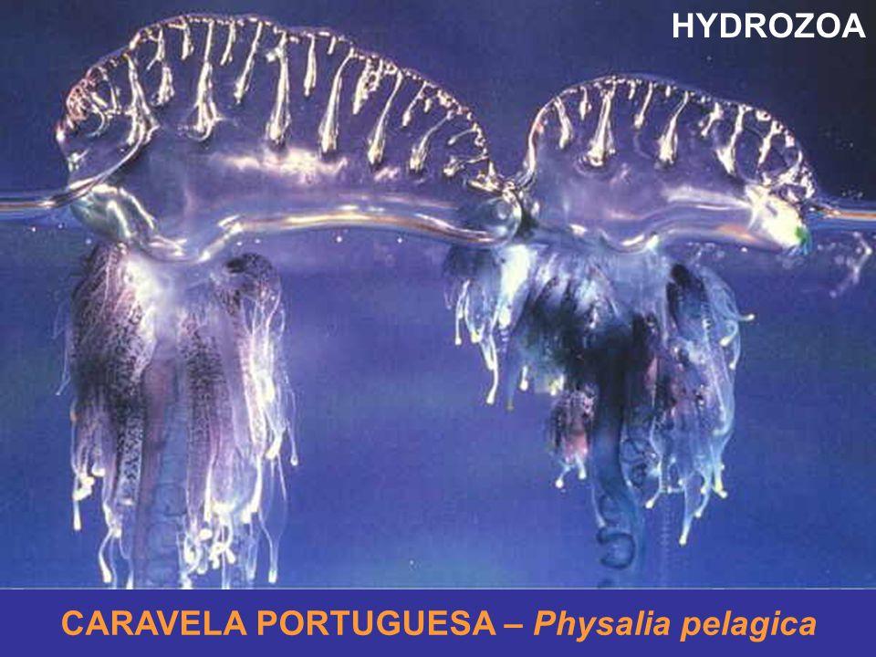 CARAVELA PORTUGUESA – Physalia pelagica HYDROZOA
