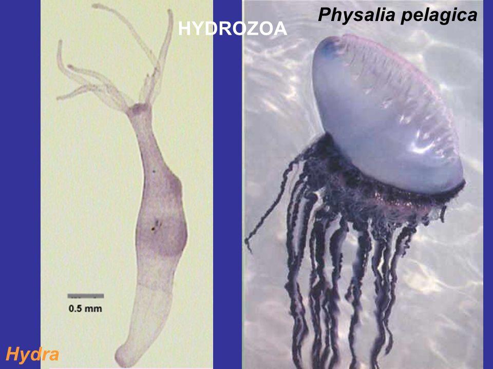 Hydra Physalia pelagica HYDROZOA